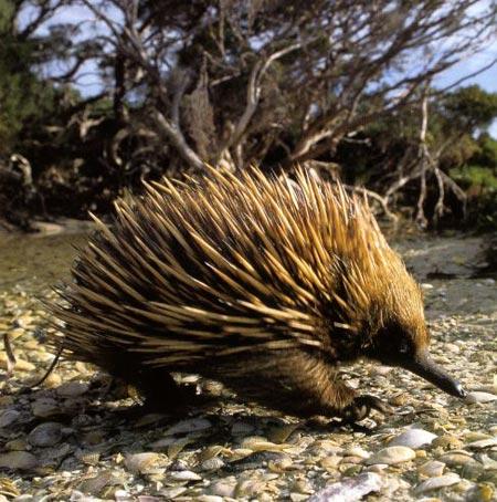 Top animales raros y casi extintos Equidna1